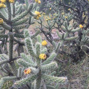 Cholla Cactus - Desert